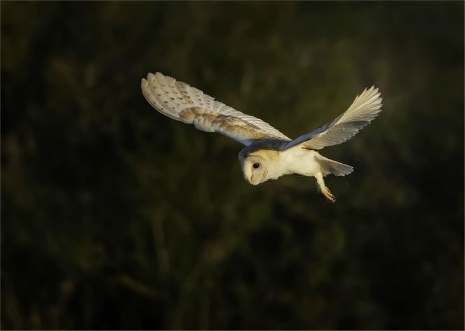Hovering Barn Owl - Mary Battye