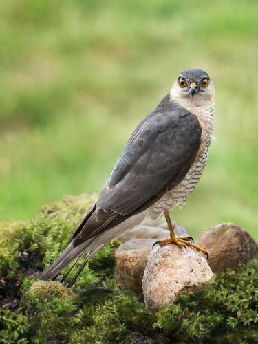 Watchful Sparrowhawk - Kate Jackson