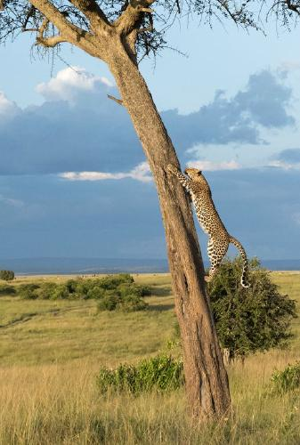 Leopard returning to its Meal - Marny Macdonald