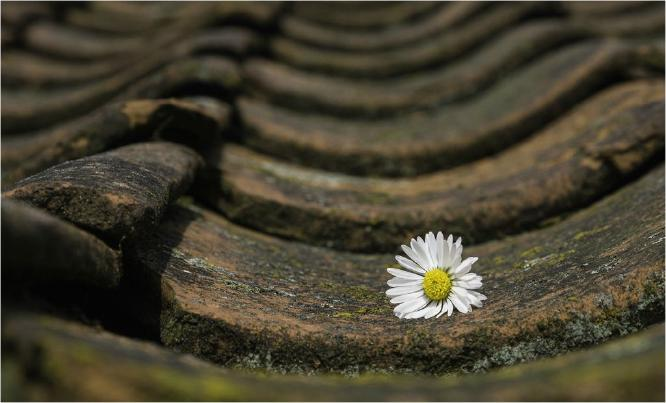 Daisy on the Roof - Eric Dew