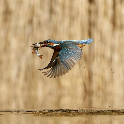 Kingfisher with a Fish - Derek Howes