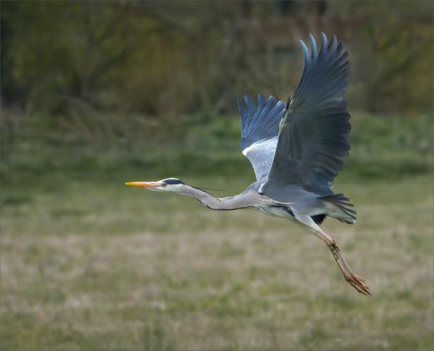 Grey Heron Taking Flight - Mary Battye
