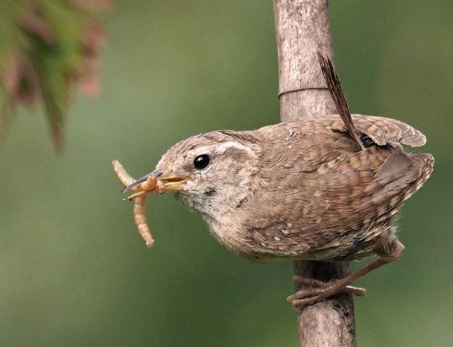 Wren with Food for Babies - Andrew Smith