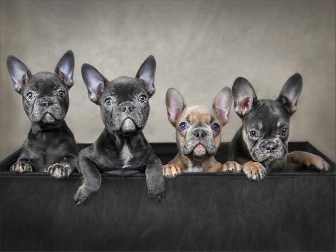 Box Of Bulldogs - French - Marcia Mellor