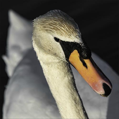 Swan Close Up - Eric Dew