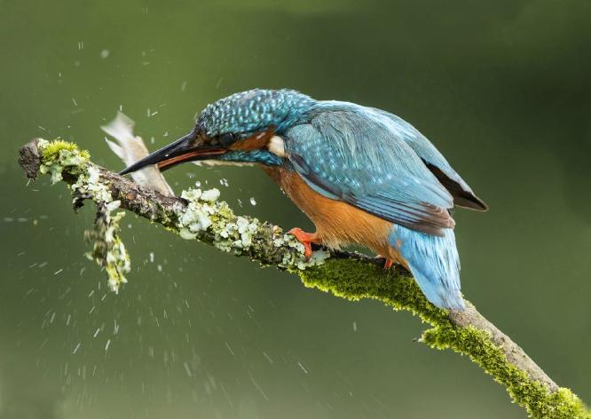 Kingfisher with fish - Lynn Rix