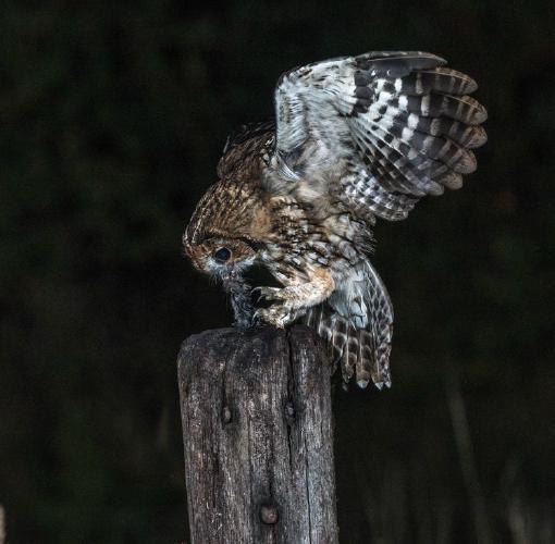 Tawny Owl With a Rat - Robert Macdonald