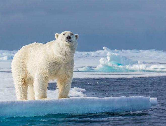Polar Bear Surveying the Ice - Robert Macdonald