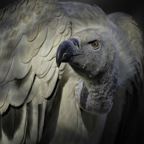 Black Backed Vulture - Chrissie Hart