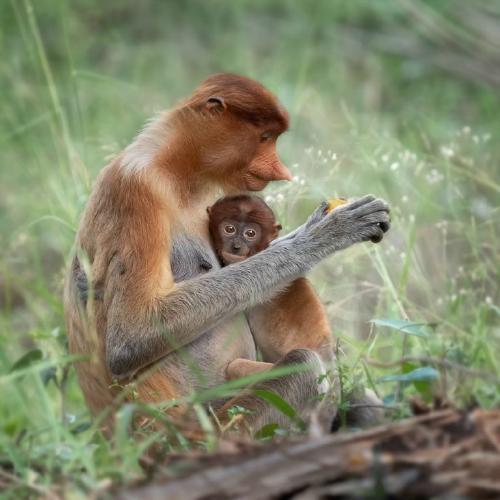 Borneon Probosis Monkey with Offspring - Chrissie Hart