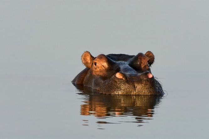 Hippo - Chrissie Hart