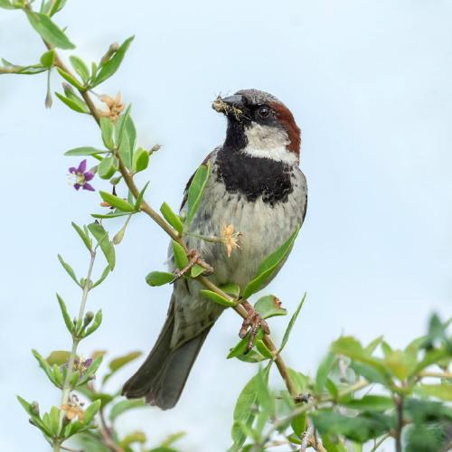 House Sparrow Collecting Food - Chrissie Hart