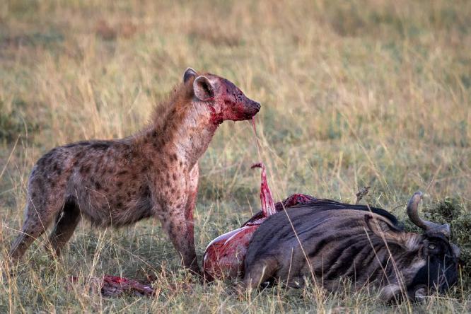 Hyena With Kill - Chrissie Hart