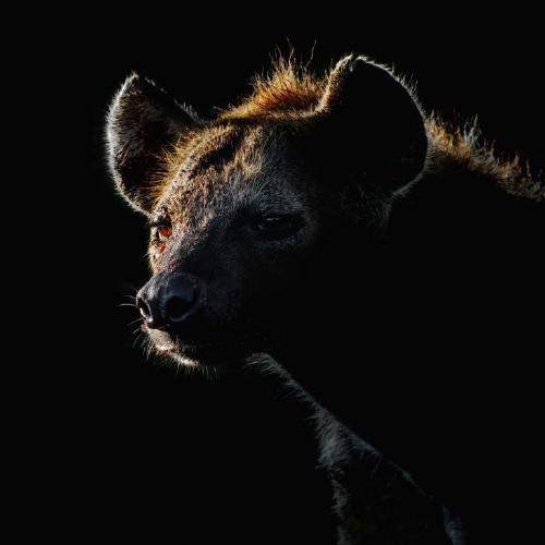 Hyena - Chrissie Hart