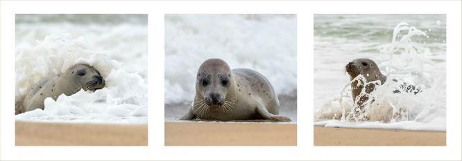 Seal Pup at play - Chrissie Hart