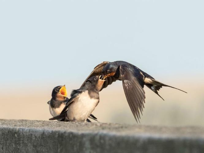 Swallow Fledglings Squabbling Over Food - Chrissie Hart