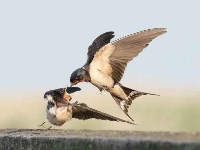 Swallow feeding Fledgling - Chrissie Hart