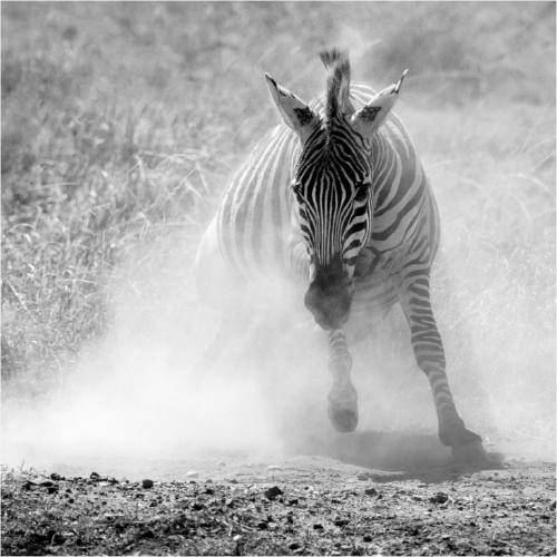 Zebra Dust Bath - Chrissie Hart