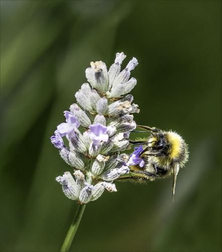 Bee-on-Lavender - Clifford Sullivan
