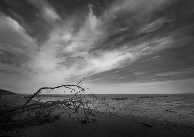 Fallen Tree Mersea Island - 1 - Colin Westgate
