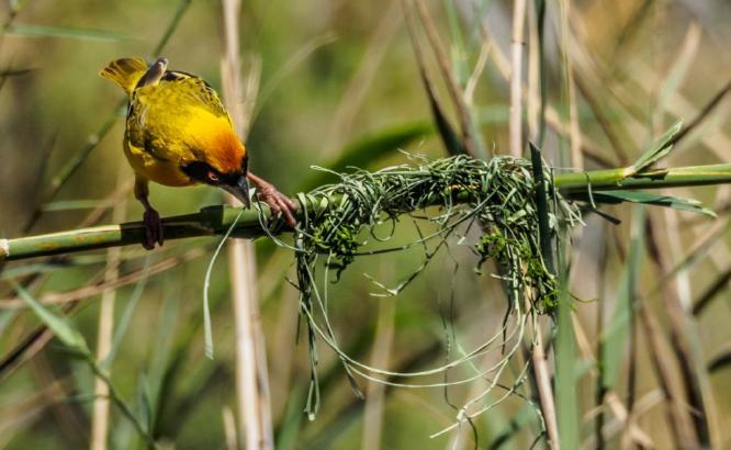 African Masked Weaver Building Nest - David Cross