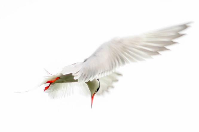 Arctic Tern - David Cross