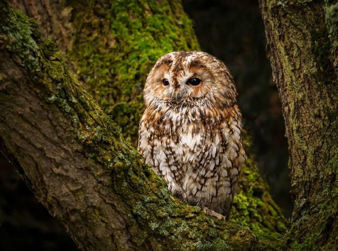 Tawny Owl - David Cross