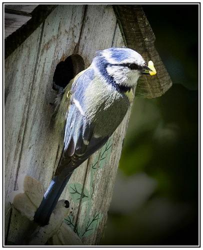 Blue tit feeding chicks - David Egerton