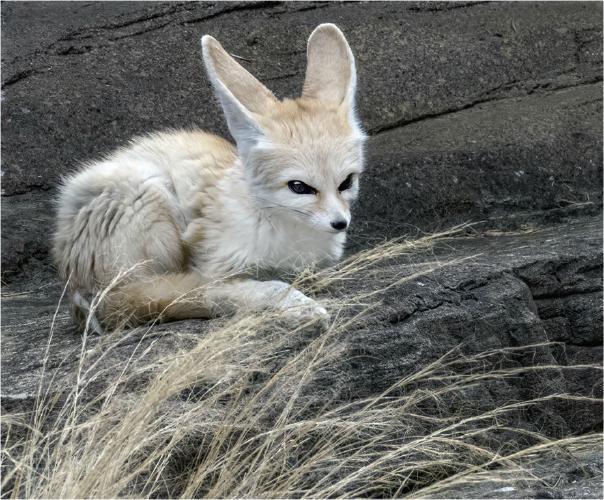 Fennec Fox - Colchester Zoo - David Egerton