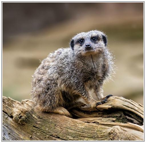 Meerkat Lookout - David Egerton