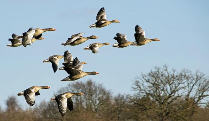 Skein of Greylag Geese - David Egerton