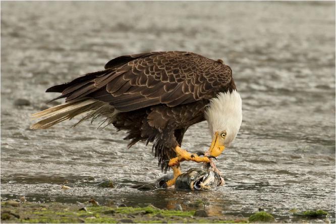 Bald Eagle devouring a salmon - Derek Howes