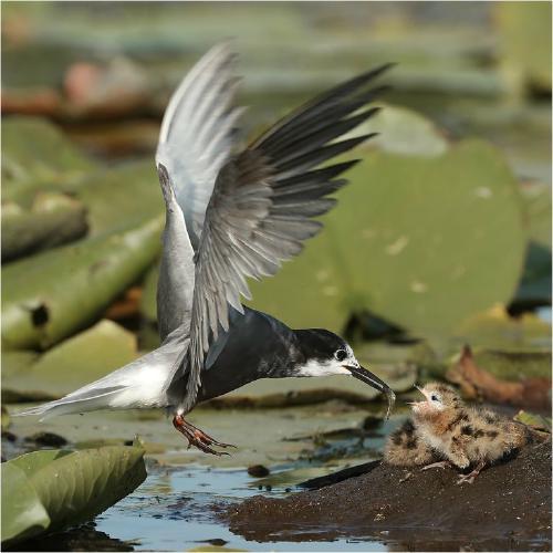 Black Tern feeding chick - Derek Howes