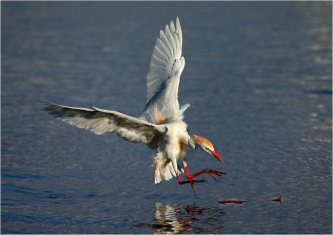 Cattle Egret collecting nesting  material - Derek Howes