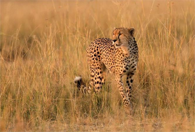 Cheetah in late afternoon sun - Derek Howes