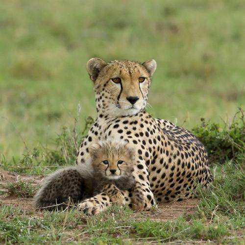 Cheetah mother and cub - Derek Howes