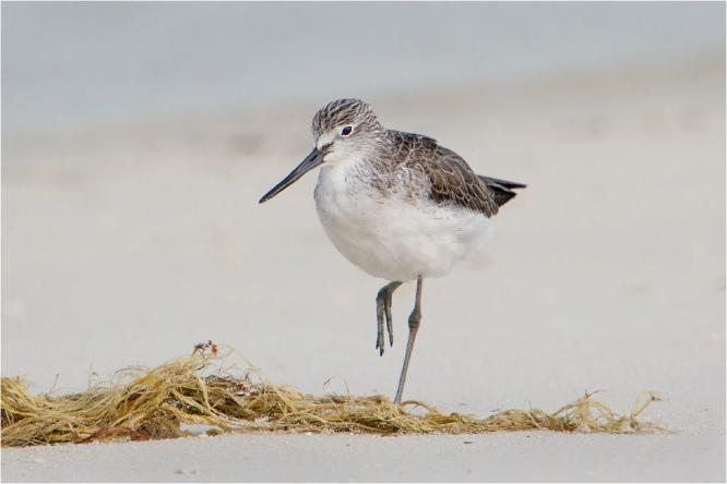 Common Greenshank on the Beach - Derek Howes