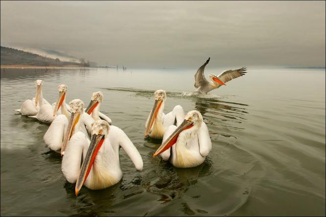 Dalmation Pelicans in Tranquil Setting - Derek Howes