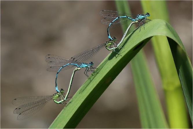Damselflies mating on my garden pond - Derek Howes