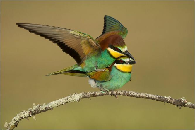 European Bee-eaters mating No 3 - Derek Howes