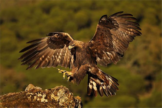 Golden Eagle collecting prey - Derek Howes