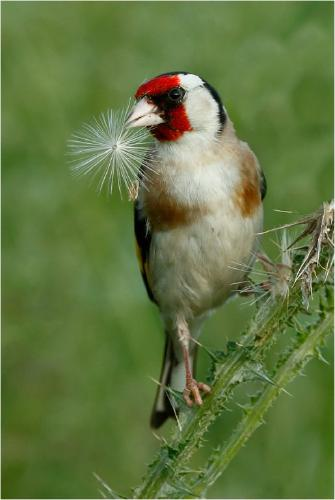 Goldfinch with seed head - Derek Howes