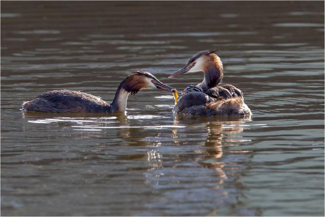 Great Crested Grebes feeding young - Derek Howes