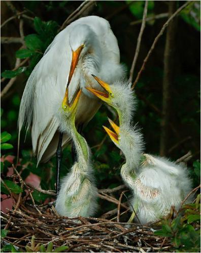 Great Egret family feeding - Derek Howes