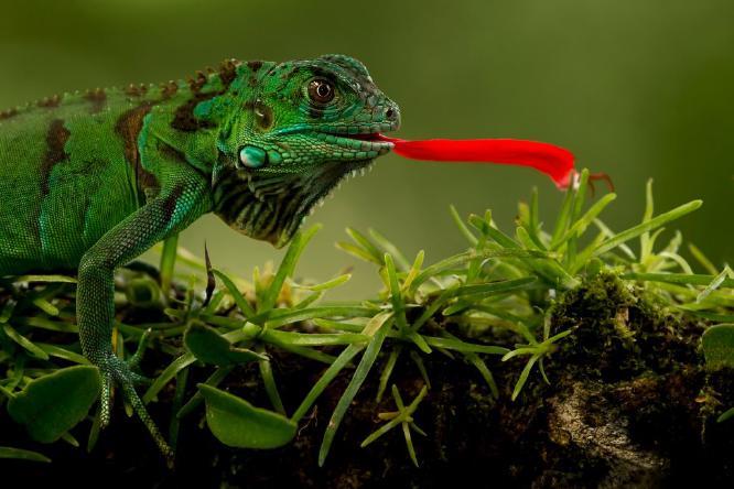 Green Lizard eating flower petal - Derek Howes