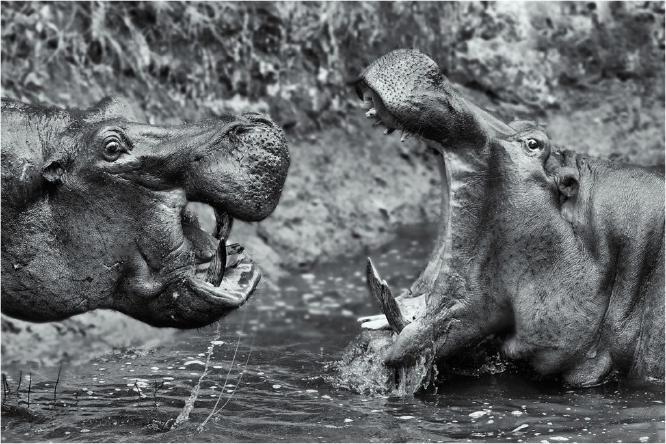 Hippos Confrontation - Derek Howes