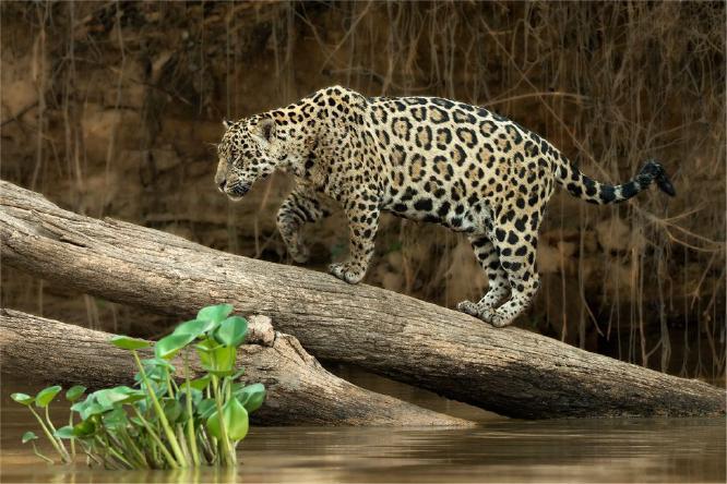 Jaguar emerging from river - Derek Howes