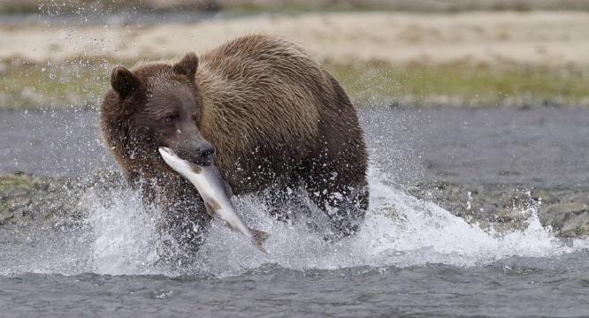 Katmai Bear with Salmon - Derek Howes