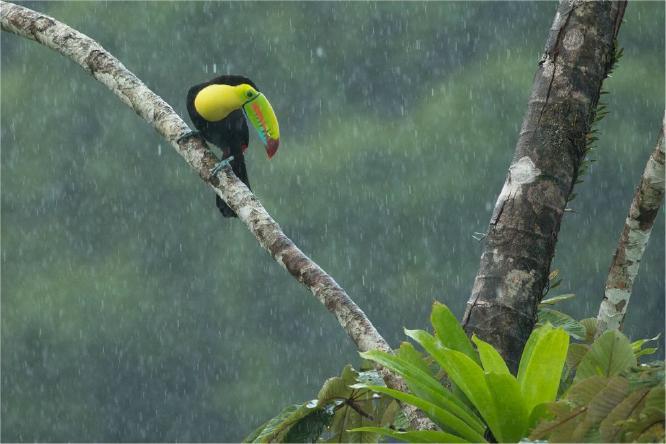 Keel Billed Toucan in the rain - Derek Howes