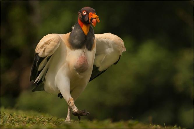 King Vulture walking off a large meal - Derek Howes